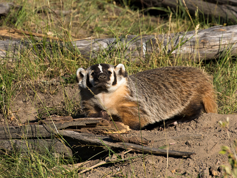 American badger next to burrow