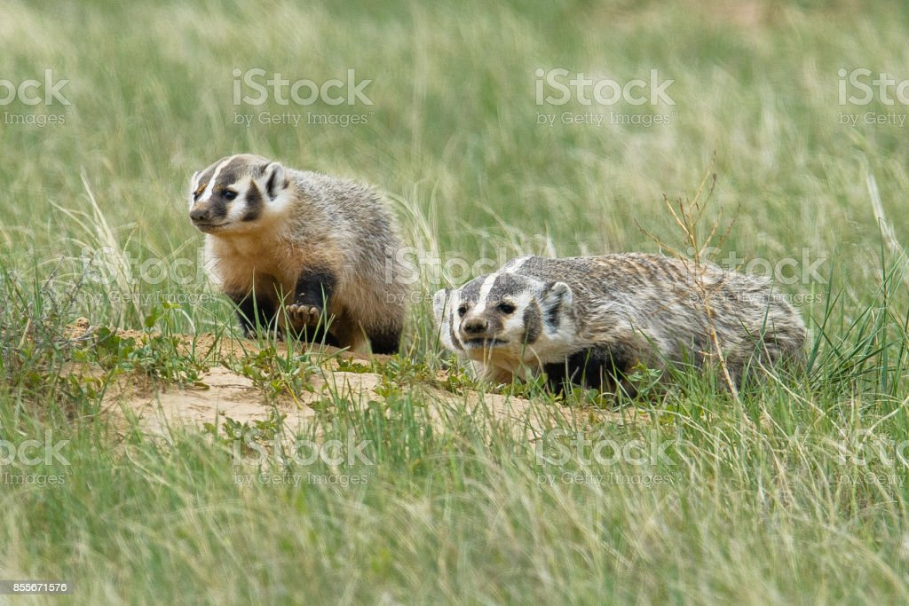 American Badger stock photo
