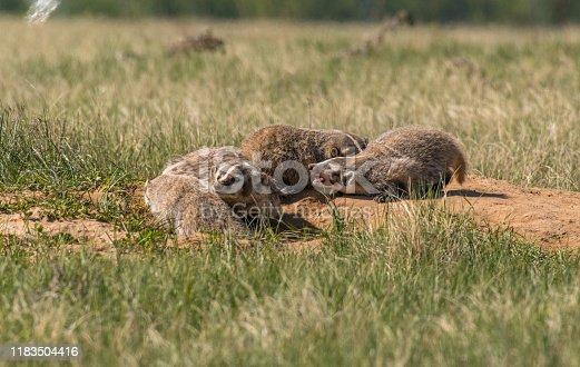American Badger Siblings at Their Den