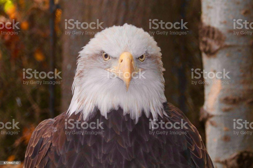 American Bald Eagle 1 stock photo