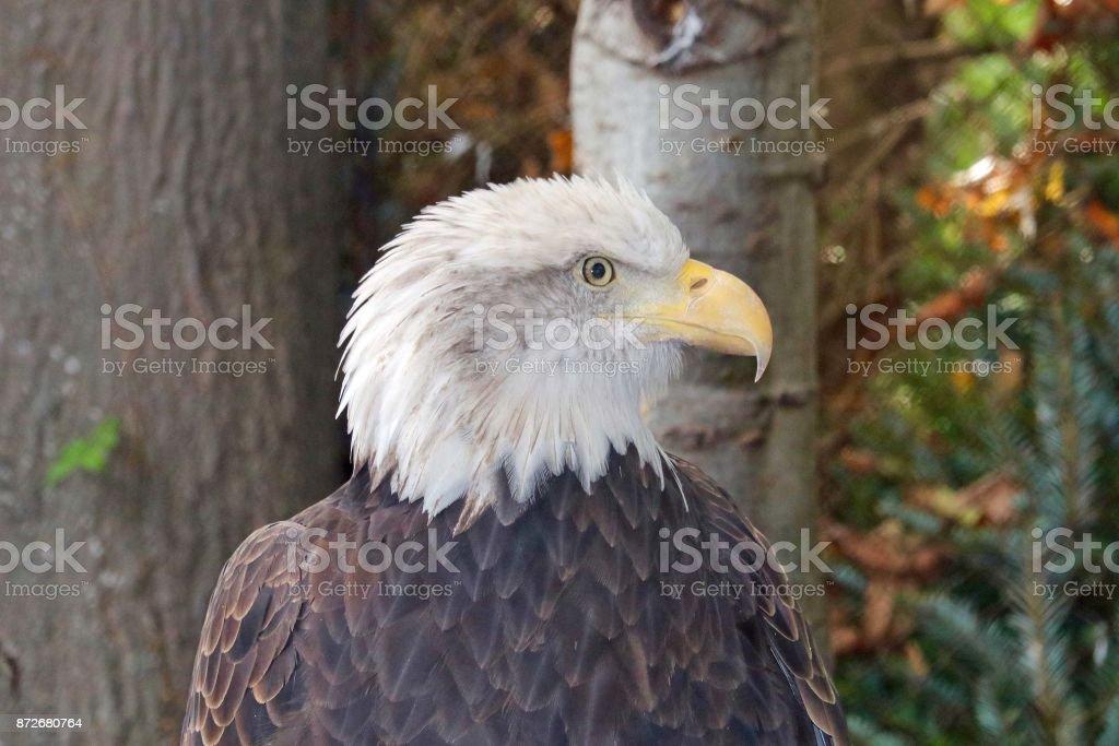 American Bald Eagle 3 stock photo