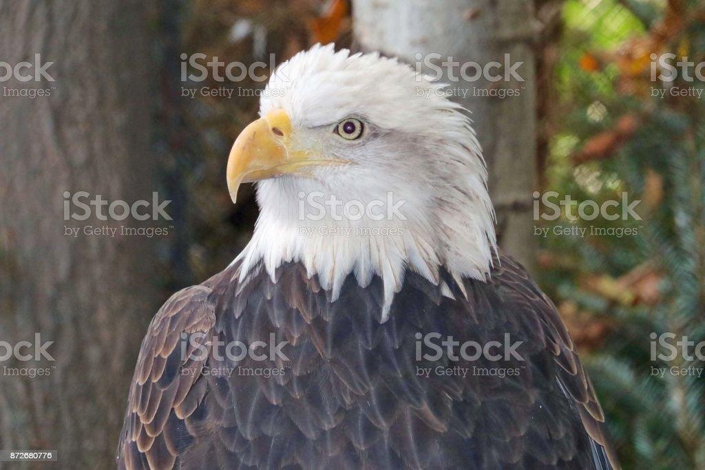 American Bald Eagle 4 stock photo