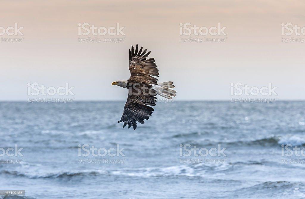 American Bald Eagle at Alaska royalty-free stock photo