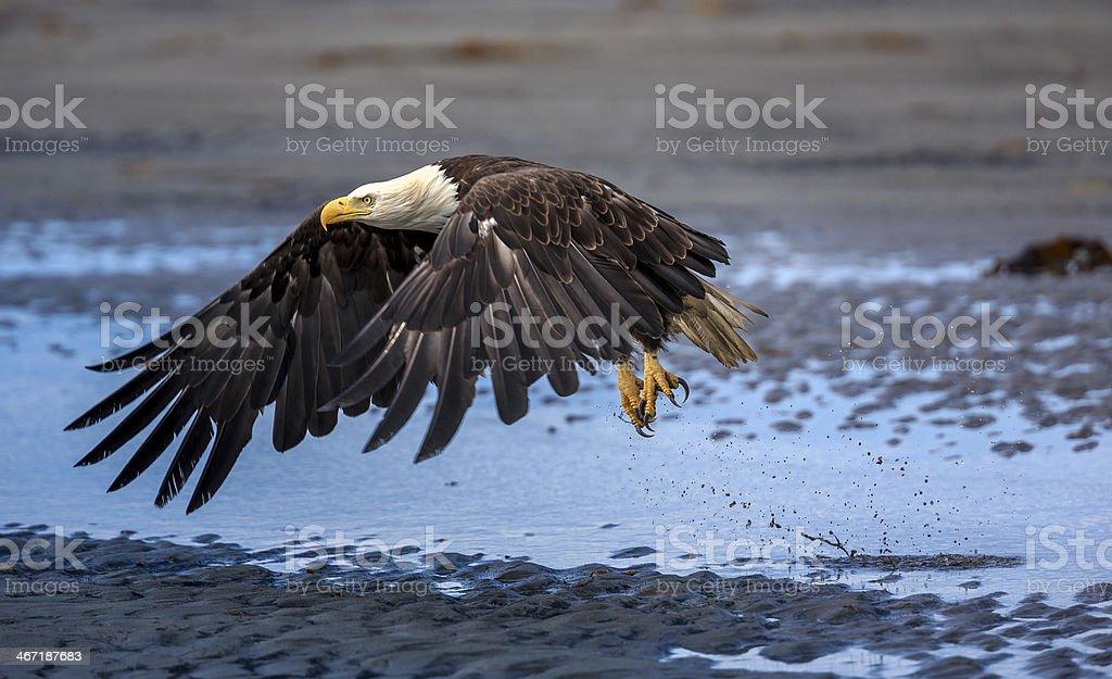 American Bald Eagle at Alaska stock photo