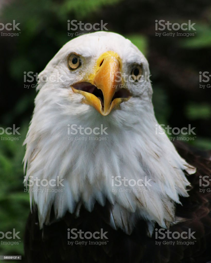 American Bald eagle beak open stock photo