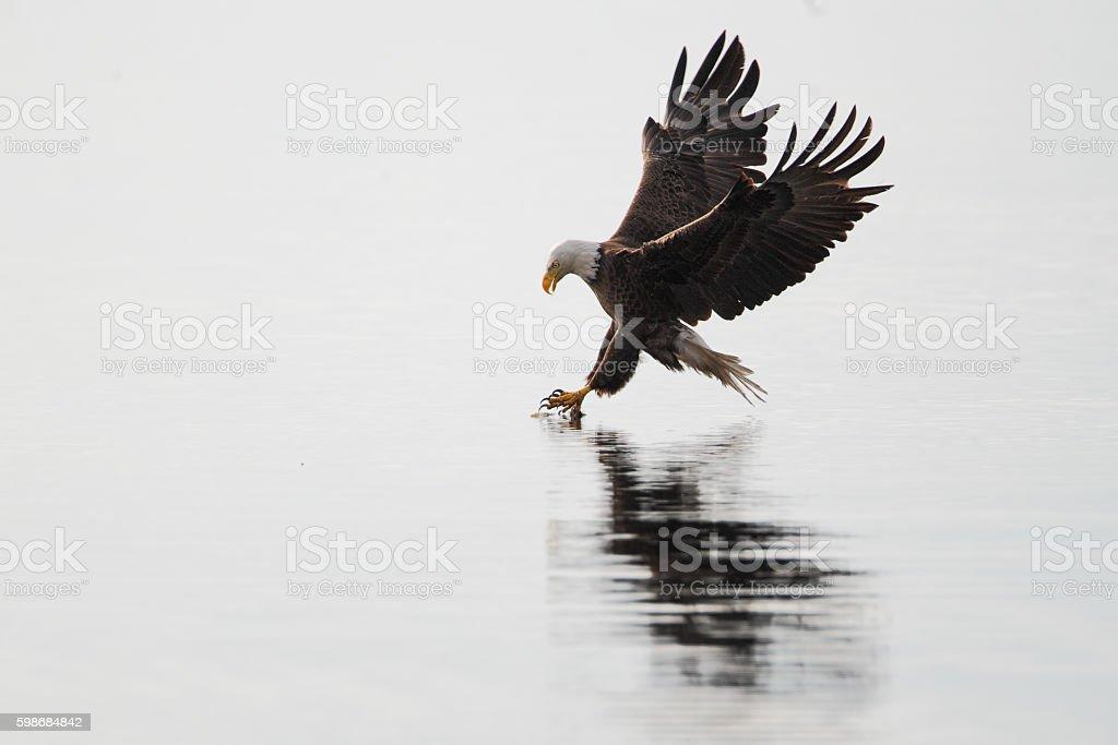 American Bald Eagle (Haliaeetus leucocephalus) catching fish, Florida, USA stock photo