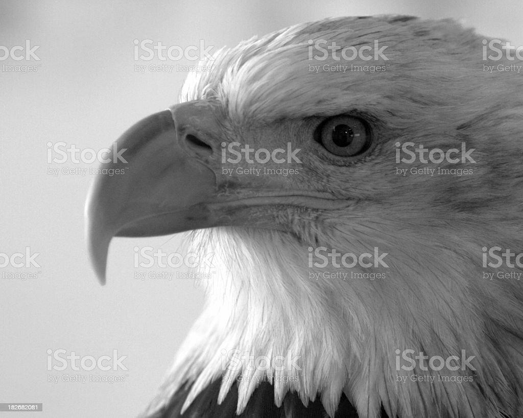 American Bald Eagle Close Up Portrait stock photo