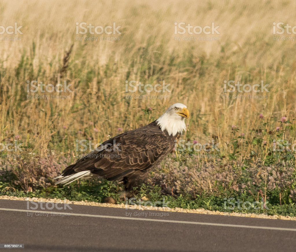 American Bald Eagle famous steely stair. stock photo