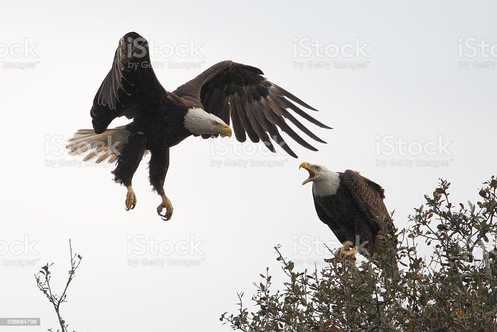 American Bald Eagle (Haliaeetus leucocephalus) flying, Florida, USA stock photo