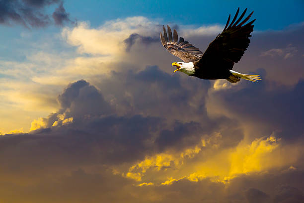 American Bald Eagle Flying in Spectacular Dramatic Sky stock photo