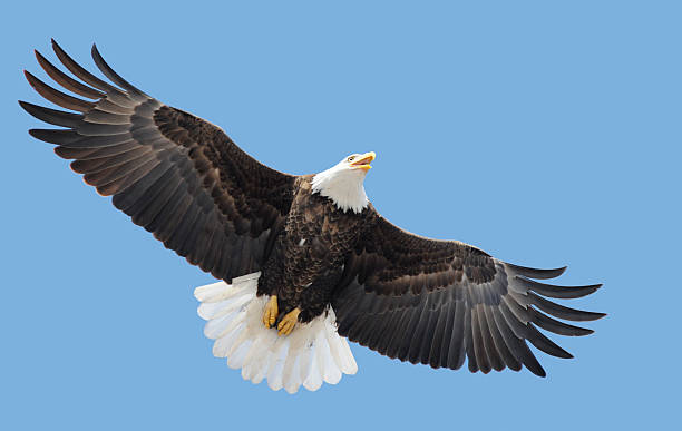American Bald Eagle Flying, Wings Spread in Blue Sky stock photo