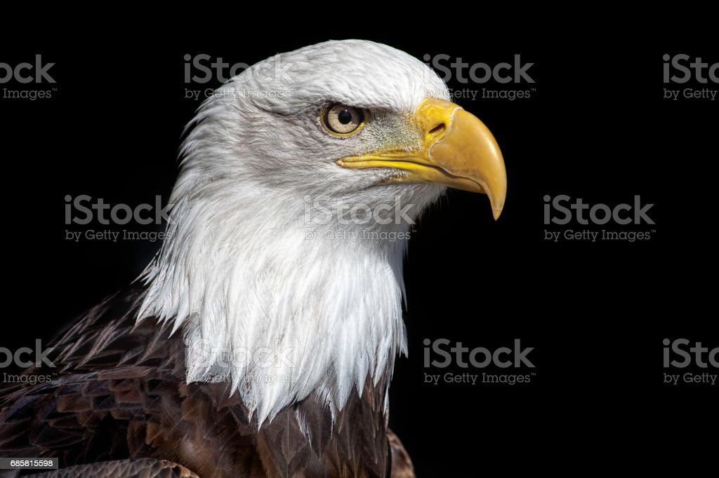 American bald eagle head close up against black background. - foto stock