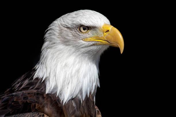 Tête de l'aigle américain à tête blanche ferme heurte le fond noir. - Photo