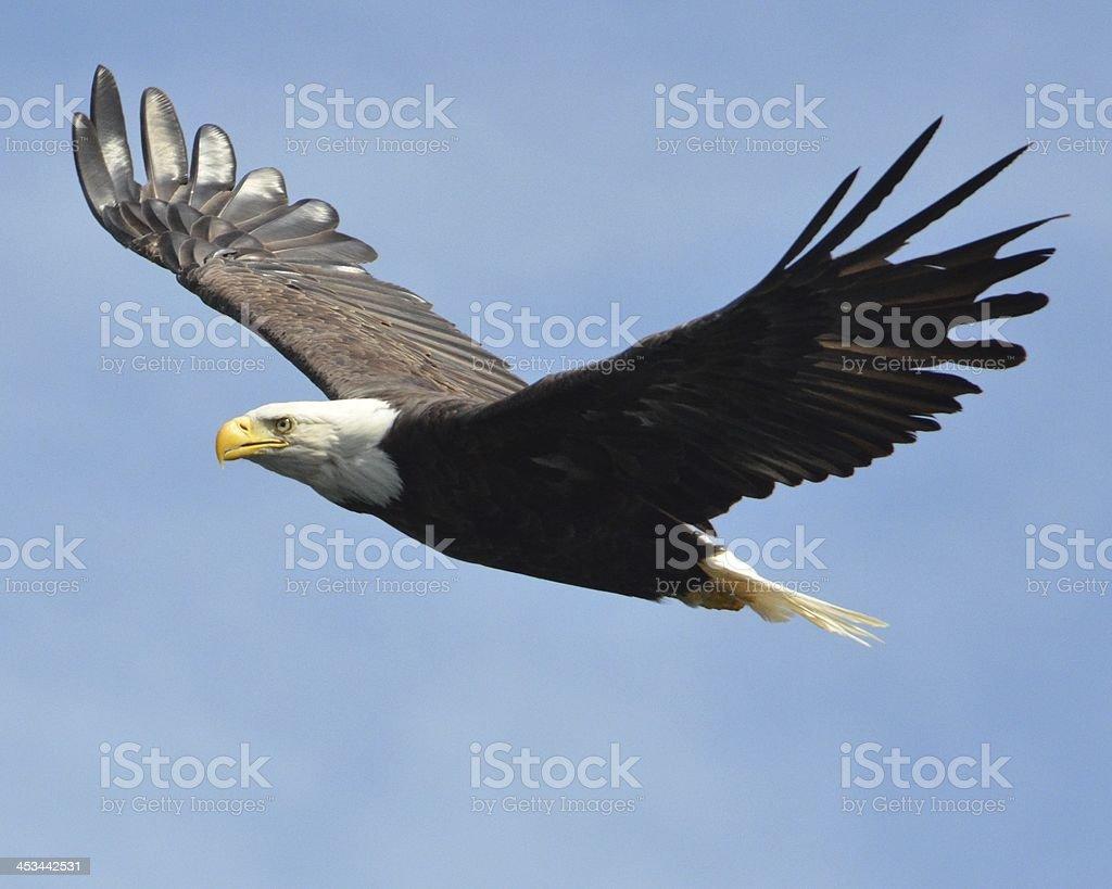 American bald eagle in flight foto
