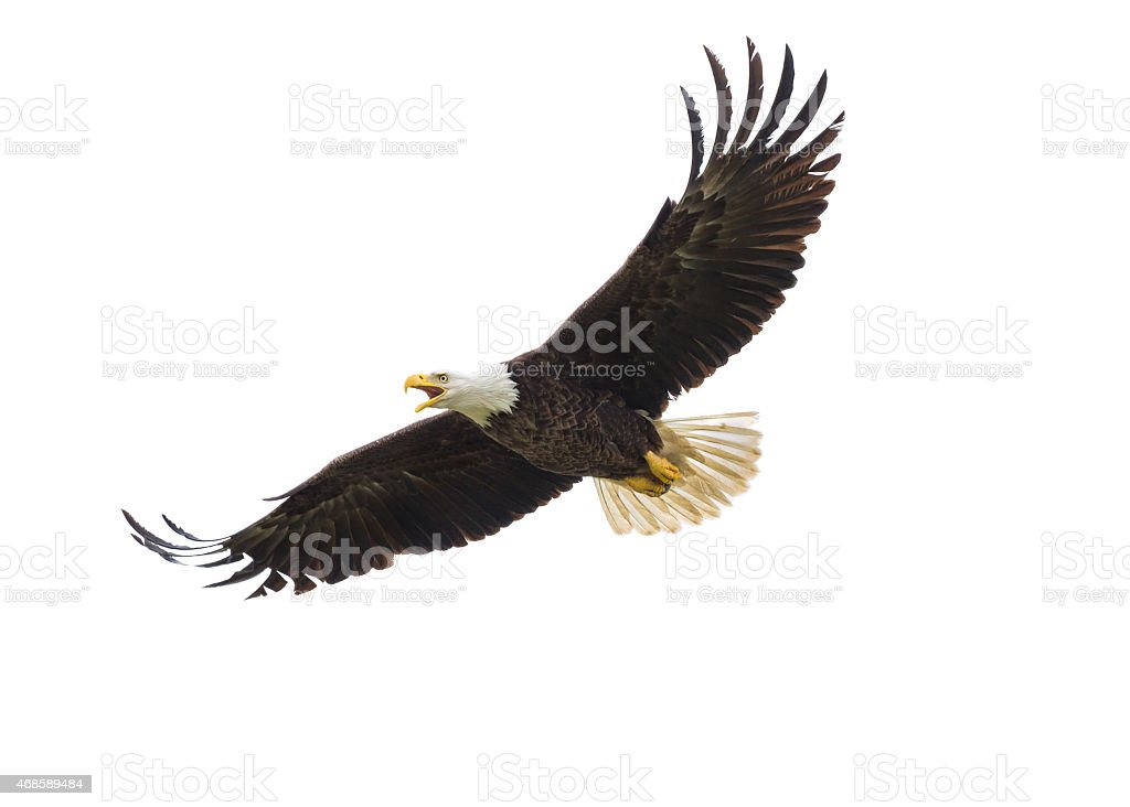 American Bald Eagle in volo - foto stock