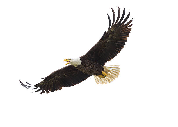 american bald eagle in flight - flying stock photos and pictures