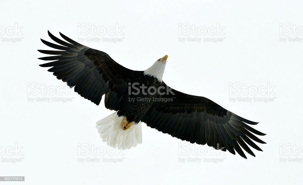 American d'aigle à tête blanche, Haliaeetus leucocephalus) Vol - Photo