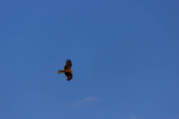 american bald eagle in flight american bald eagle in flight against blue sky bootes stock pictures, royalty-free photos & images