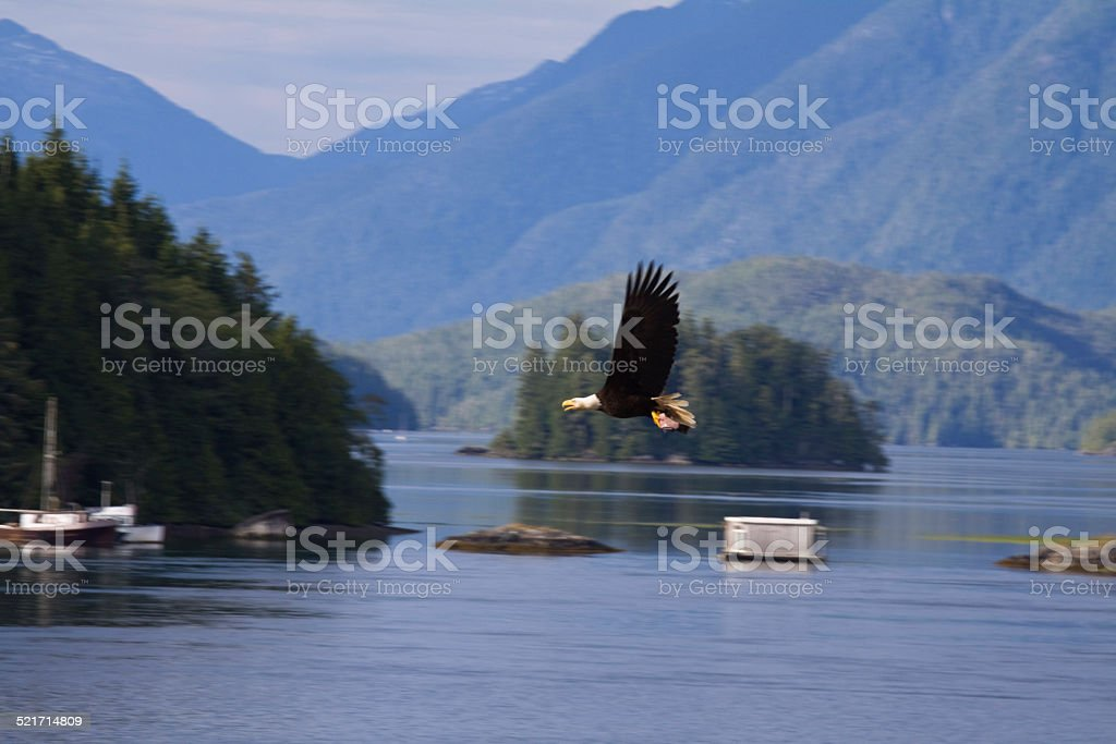 American Bald Eagle in motion over Tofino Harbour stock photo