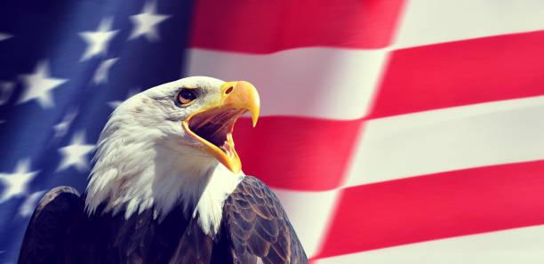 American Bald Eagle (Haliaeetus leucocephalus) in the background USA flag. stock photo