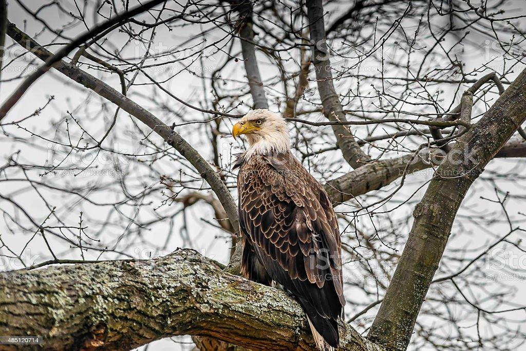 American Bald Eagle in tree stock photo