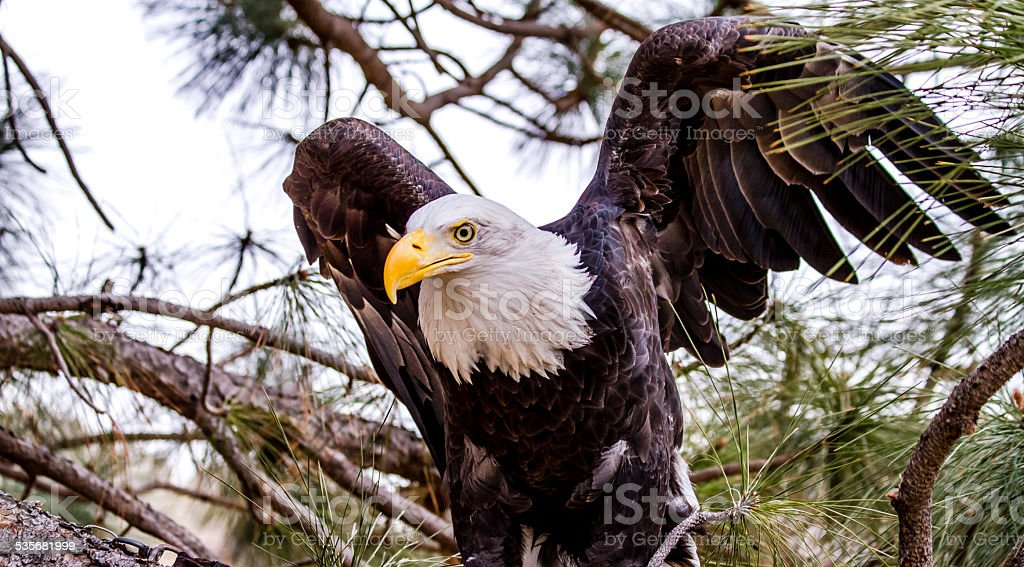 American Bald Eagle in Winter Setting stock photo