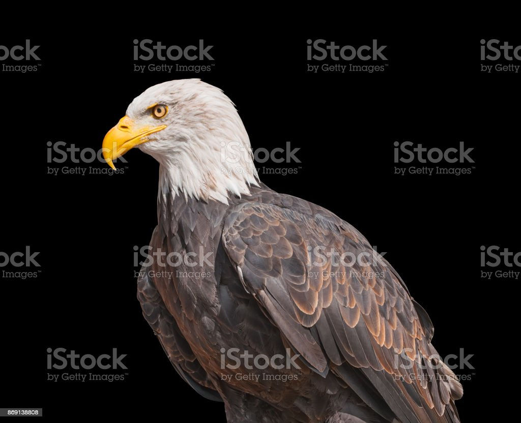 American Bald Eagle isolated on black background stock photo