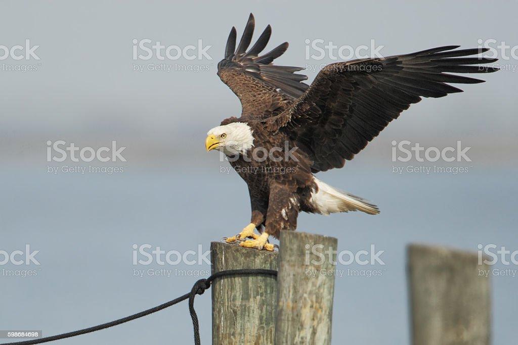 American Bald Eagle (Haliaeetus leucocephalus) landing on post, Florida, USA stock photo