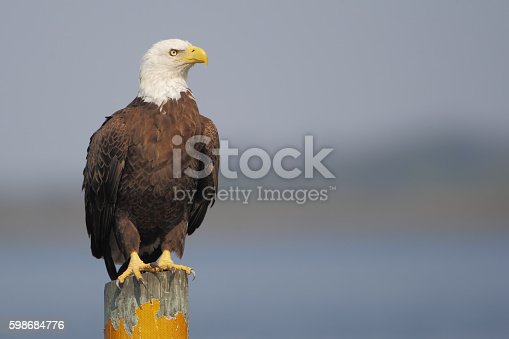 American Bald Eagle (Haliaeetus leucocephalus) on post, Florida, USA