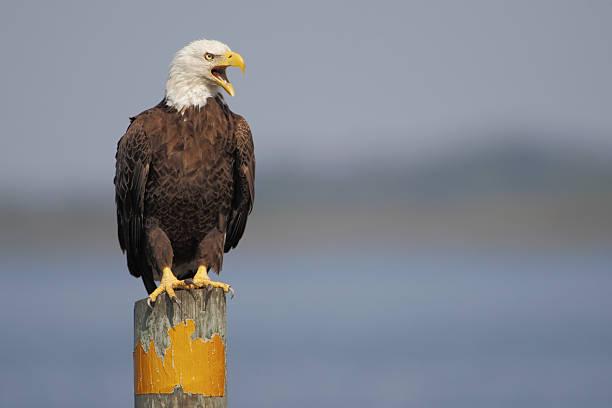 american bald eagle (haliaeetus leucocephalus) on post screaming, florida, usa - neerstrijken stockfoto's en -beelden