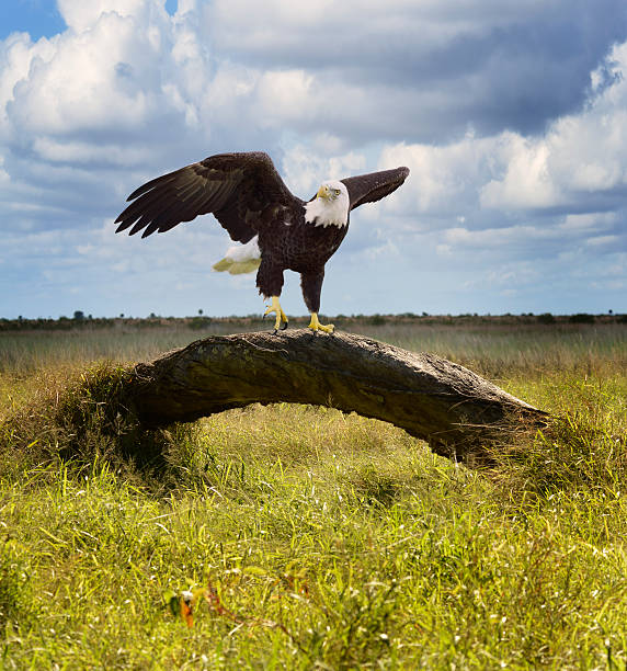 American Bald Eagle American Bald Eagle Perching On A Tree perching stock pictures, royalty-free photos & images