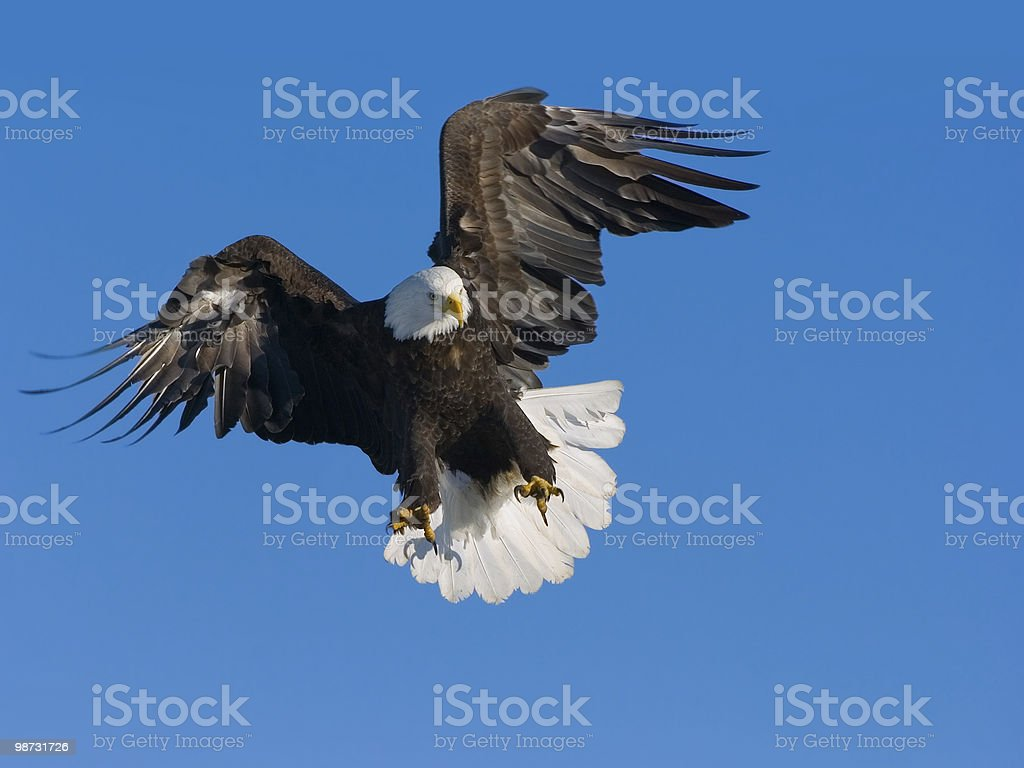 american bald eagle preparing to grab a fish 免版稅 stock photo