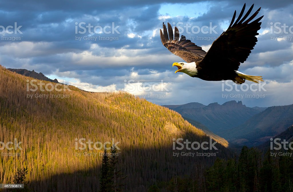American Bald Eagle Rules the Sky Over Wyoming, USA American Bald Eagle Rules the Sky Over Wyoming, USA.  Symbolic of American pride, strength and leadership around the world, this beautiful bird of prey has come back from near extinction.  Bald Eagles once again command the skies all over the USA. 2015 Stock Photo