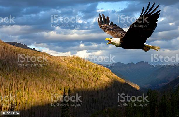 American bald eagle rules the sky over wyoming usa picture id467293874?b=1&k=6&m=467293874&s=612x612&h=8j5xv5rn2syzi90g6kfspvdj0al4nwwbckdxkletmpk=