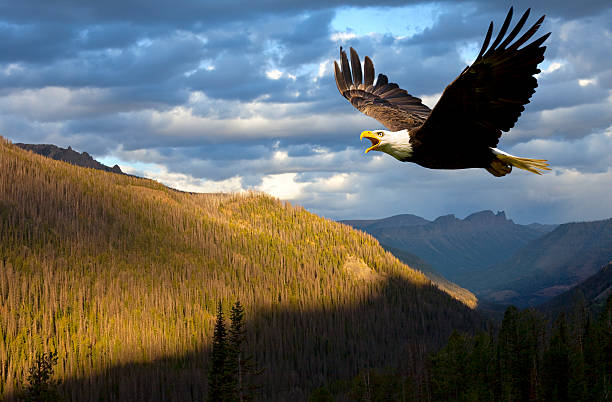 American Bald Eagle Rules the Sky Over Wyoming, USA stock photo