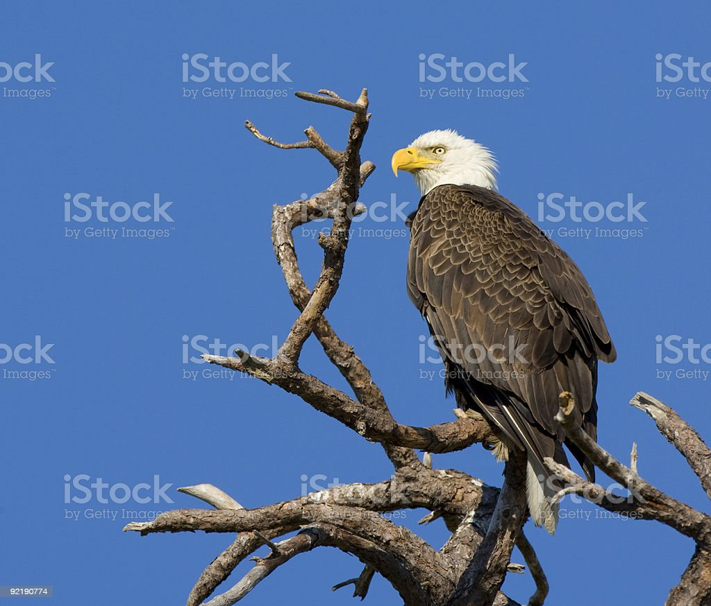 American Bald Eagle sitting proudly in a treetop stock photo