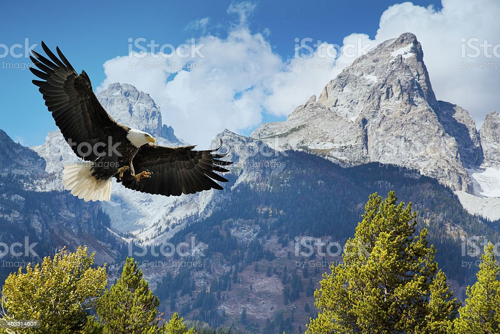 American Bald Eagle Swooping Down, With Majestic Grand Tetons Mountains stock photo