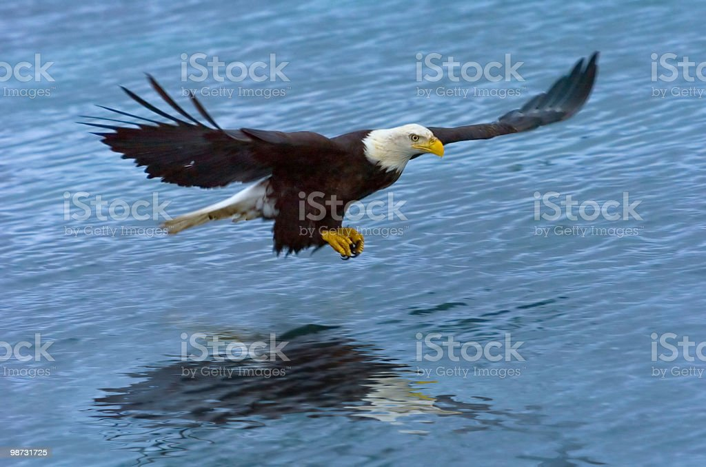 american bald eagle swooping over water to catch fish royalty free stockfoto
