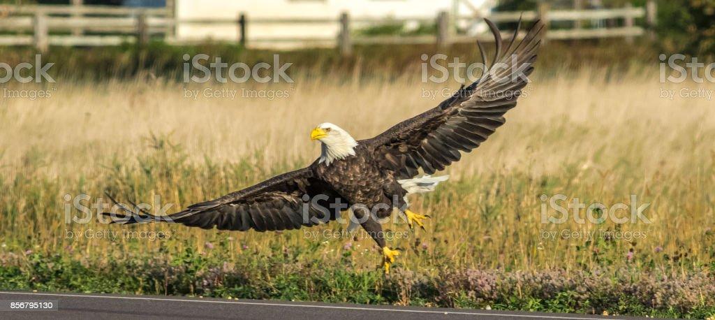 American Bald Eagle taking flight stock photo