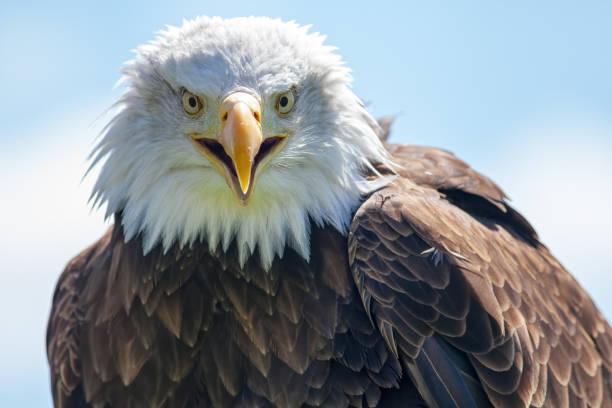 美國白頭鷹。美國猛禽刻畫形象。 - 象徵主義 個照片及圖片檔