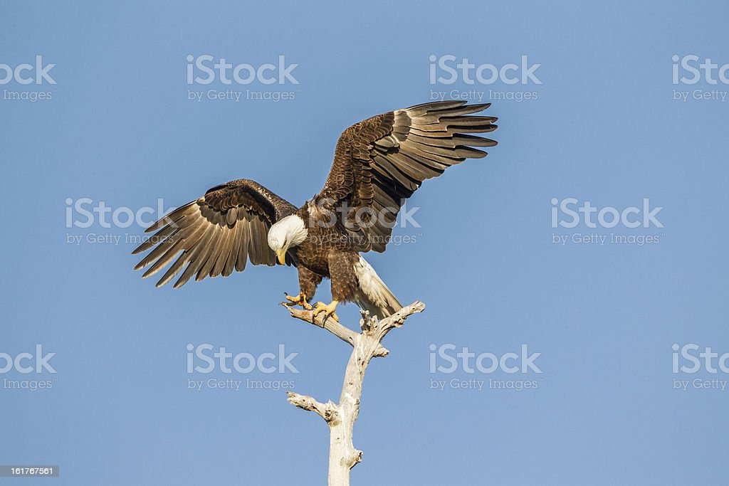 American Bald Eagle wings spread royalty-free stock photo