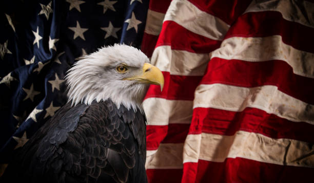 american bald eagle with flag - eagle stock photos and pictures