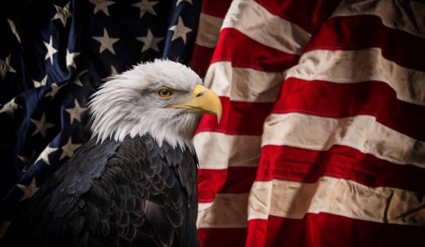 American Bald Eagle avec indicateur - Photo