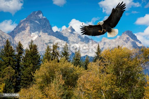 American Bald Eagle With Majestic Grand Tetons Mountains.  The Eagle descends toward treetops in the foreground with amazing mountains in the background. It's hard to find a more breathtaking, American scenic.