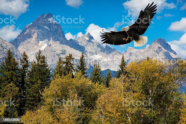 American bald eagle with majestic grand tetons mountains picture id186543895?b=1&k=6&m=186543895&s=612x612&h=jusbp3tgrxoo17flaj1yprzclb3vcm9jusomidcqqqo=