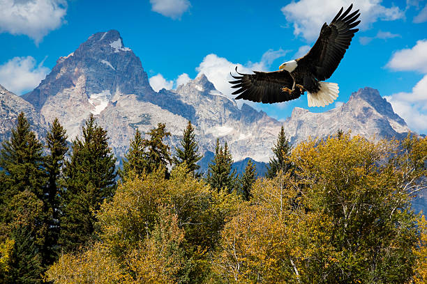 American Bald Eagle With Majestic Grand Tetons Mountains American Bald Eagle With Majestic Grand Tetons Mountains.  The Eagle descends toward treetops in the foreground with amazing mountains in the background. It's hard to find a more breathtaking, American scenic. rocky mountains north america stock pictures, royalty-free photos & images