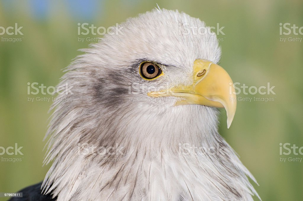 American Bald Eagle with sharp beak detail royalty-free stock photo