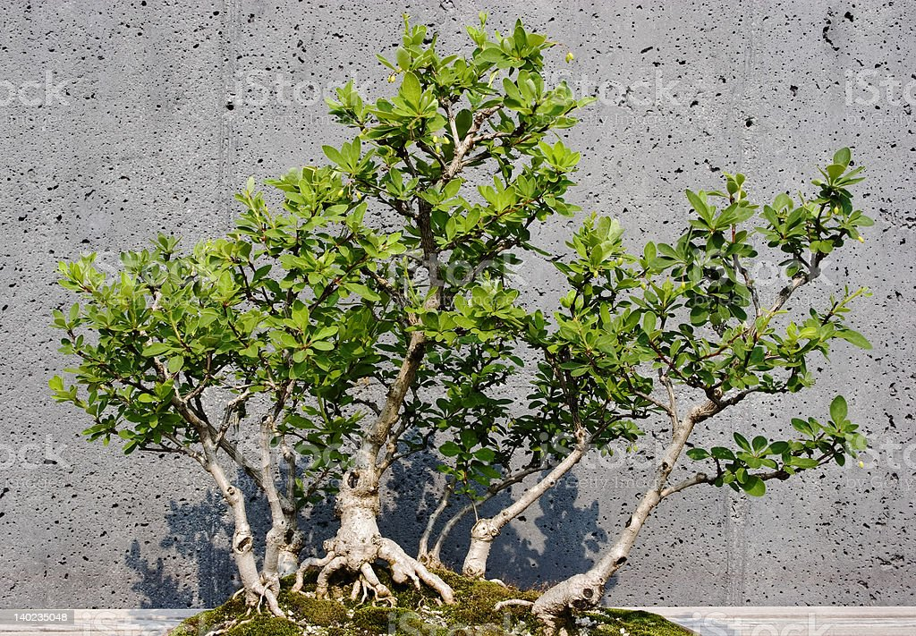 American Barberry Bonsai Stock Photo Download Image Now Istock