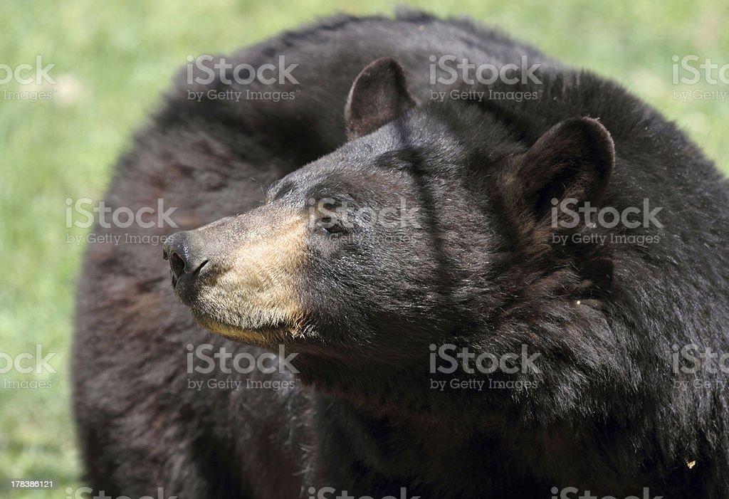 american bears stock photo