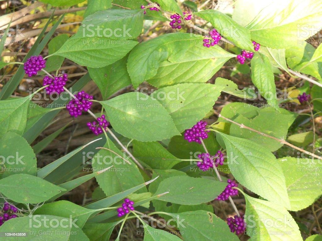 American Beautyberry Plant stock photo